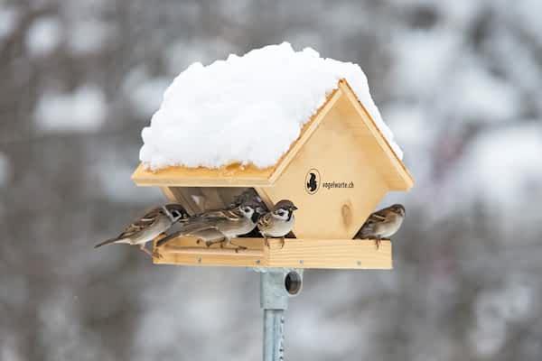 Observer les oiseaux à la mangeoire
