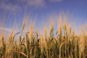 Siyez Buğdayı ile İlgili Her Şey: