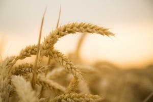 Tam Tahıl, Tam Buğday, Tam Tahıllı Yiyecek ve Sağlık İlişkisi