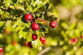 Ceai de păducel: beneficii, contraindicații și mod de preparare