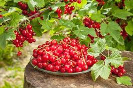 Coacăzele negre sau roșii, benefice în caz de surmenaj sau anemie
