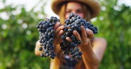 Beneficiile deliciosului MUST - bogat in resveratrol si minerale