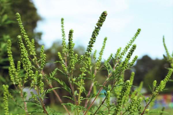 Alergie la ambrozie: cum te afectează polenul de la această buruiană
