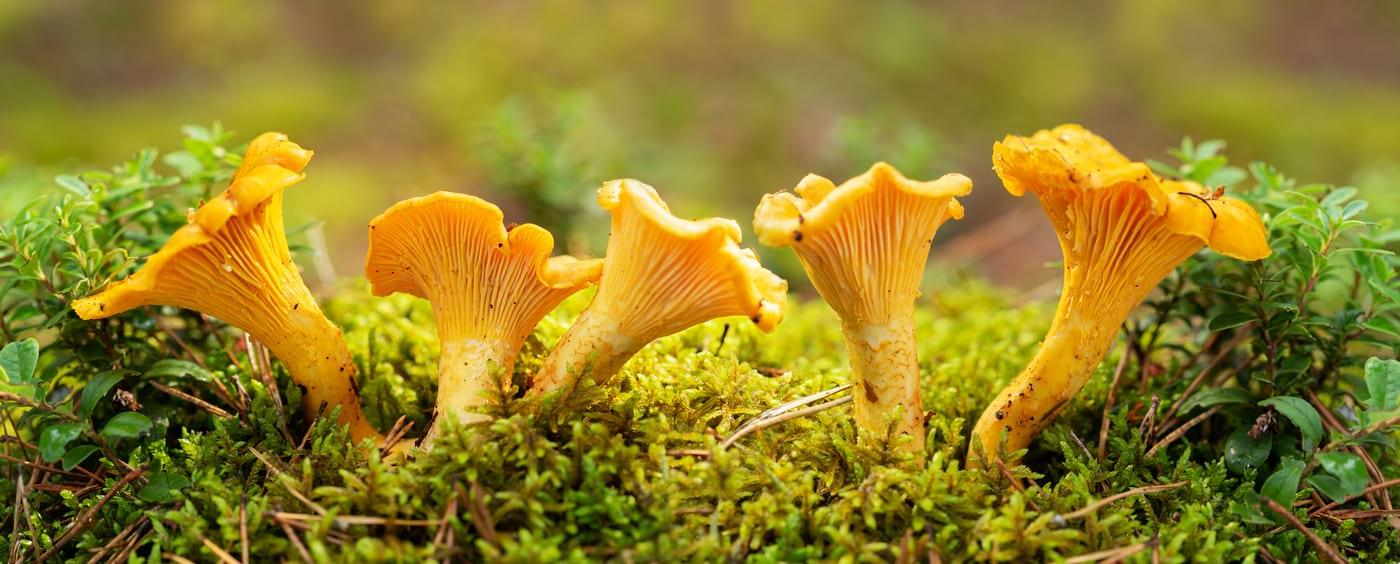Consumul de ciuperci scade riscul de cancer?