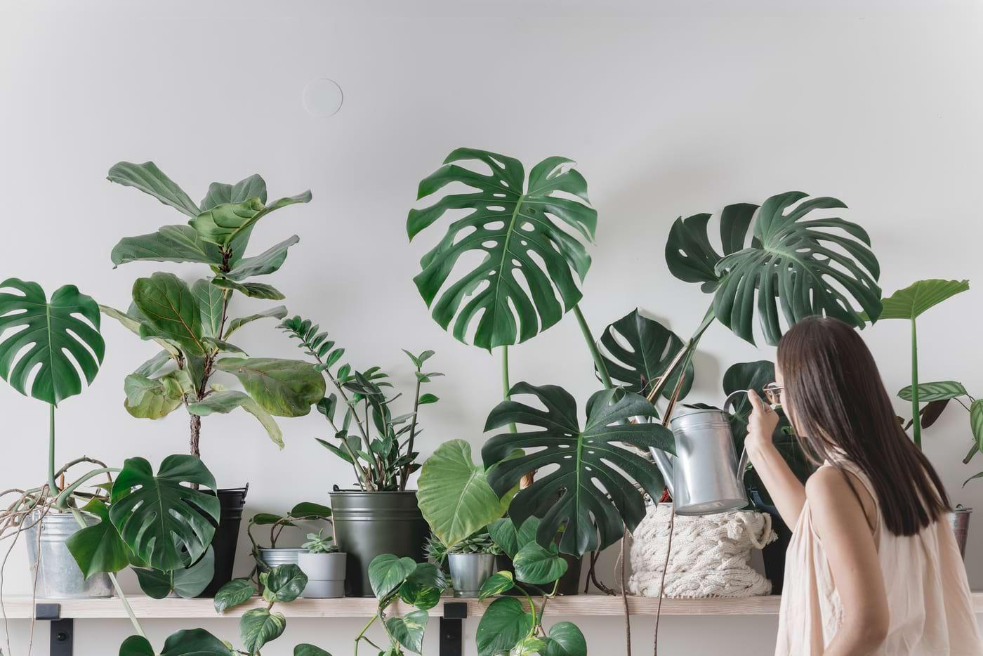 Plantele de interior purifică aerul?